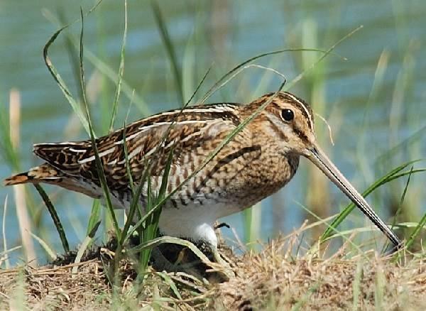 Бекас-птица-Описание-особенности-образ-жизни-и-среда-обитания-бекаса-6