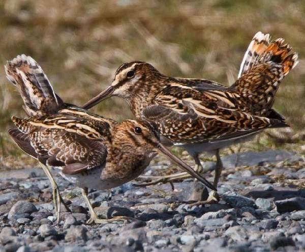 Бекас-птица-Описание-особенности-образ-жизни-и-среда-обитания-бекаса-7
