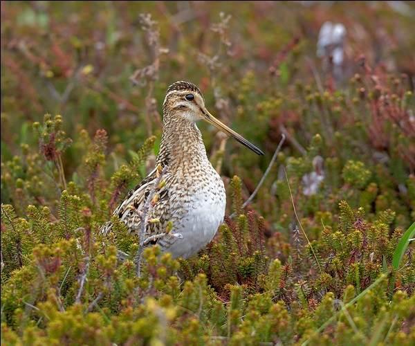 Бекас-птица-Описание-особенности-образ-жизни-и-среда-обитания-бекаса-8