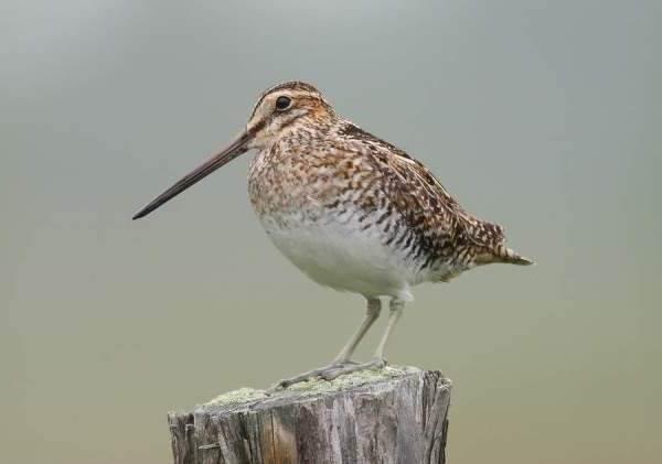 Бекас-птица-Описание-особенности-образ-жизни-и-среда-обитания-бекаса-9