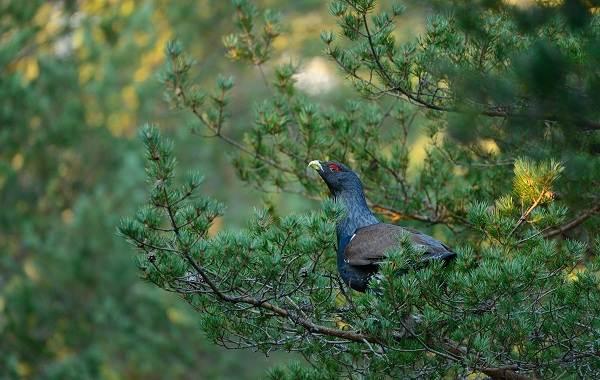 Глухарь-птица-Образ-жизни-и-среда-обитания-глухаря-13
