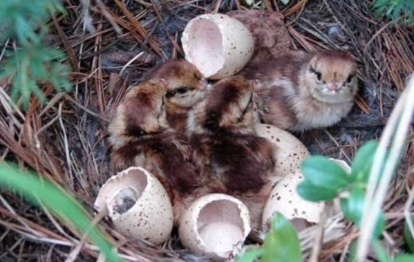 Глухарь-птица-Образ-жизни-и-среда-обитания-глухаря-17