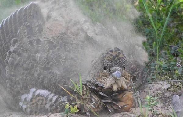 Глухарь-птица-Образ-жизни-и-среда-обитания-глухаря-19