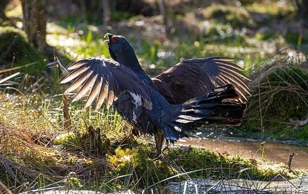 Глухарь-птица-Образ-жизни-и-среда-обитания-глухаря-2