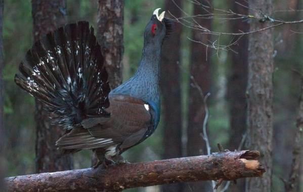 Глухарь-птица-Образ-жизни-и-среда-обитания-глухаря-5
