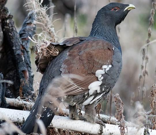 Глухарь-птица-Образ-жизни-и-среда-обитания-глухаря-8