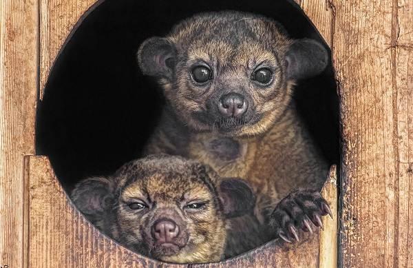 Кинкажу-животное-Среда-обитания-и-образ-жизни-кинкажу-14