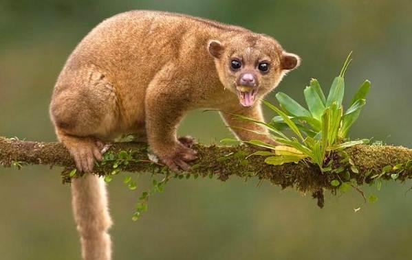 Кинкажу-животное-Среда-обитания-и-образ-жизни-кинкажу-4