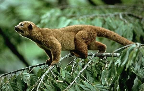 Кинкажу-животное-Среда-обитания-и-образ-жизни-кинкажу-9