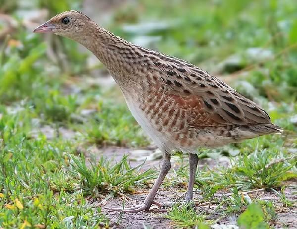 Коростель-птица-Описание-особенности-образ-жизни-и-среда-обитания-коростеля-1