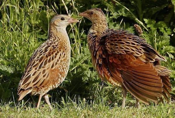 Коростель-птица-Описание-особенности-образ-жизни-и-среда-обитания-коростеля-2