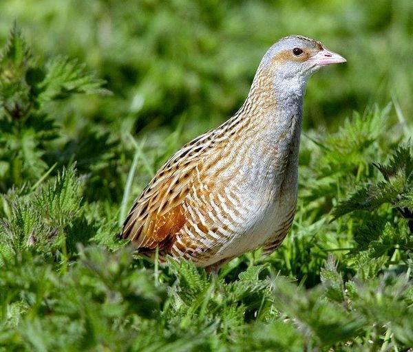 Коростель-птица-Описание-особенности-образ-жизни-и-среда-обитания-коростеля-11