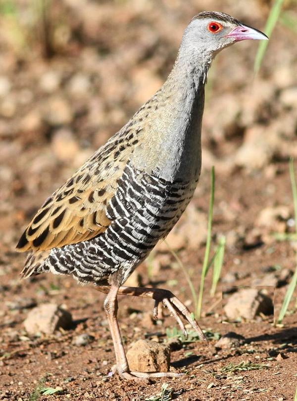 Коростель-птица-Описание-особенности-образ-жизни-и-среда-обитания-коростеля-12