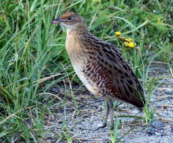 Коростель-птица-Описание-особенности-образ-жизни-и-среда-обитания-коростеля-4