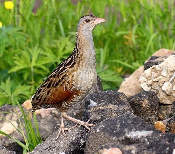Коростель-птица-Описание-особенности-образ-жизни-и-среда-обитания-коростеля-5