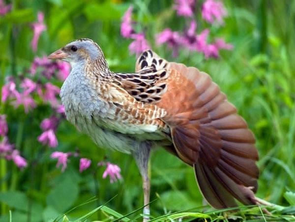 Коростель-птица-Описание-особенности-образ-жизни-и-среда-обитания-коростеля-6