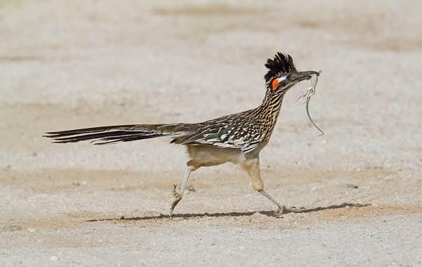 Кукушка-птица-Образ-жизни-и-среда-обитания-кукушки-10