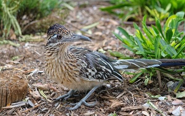 Кукушка-птица-Образ-жизни-и-среда-обитания-кукушки-12