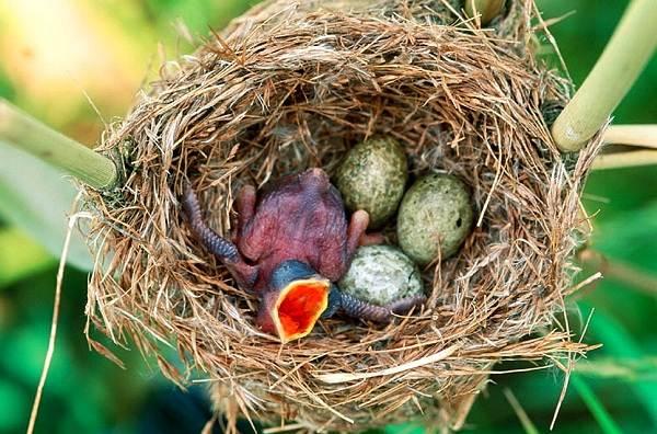 Кукушка-птица-Образ-жизни-и-среда-обитания-кукушки-13