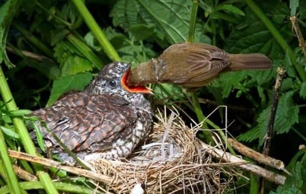 Кукушка-птица-Образ-жизни-и-среда-обитания-кукушки-14