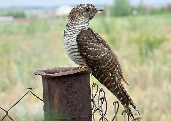 Кукушка-птица-Образ-жизни-и-среда-обитания-кукушки-15
