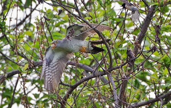 Кукушка-птица-Образ-жизни-и-среда-обитания-кукушки-16