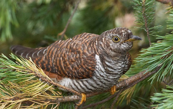 Кукушка-птица-Образ-жизни-и-среда-обитания-кукушки-18