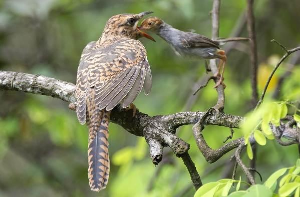 Кукушка-птица-Образ-жизни-и-среда-обитания-кукушки-6