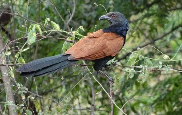 Кукушка-птица-Образ-жизни-и-среда-обитания-кукушки-9