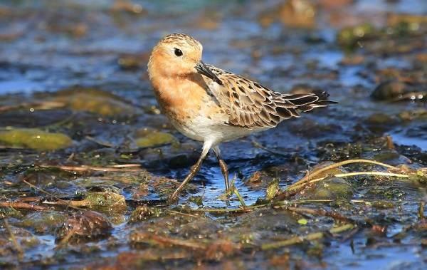 Кулик-птица-Образ-жизни-и-среда-обитания-кулика-12