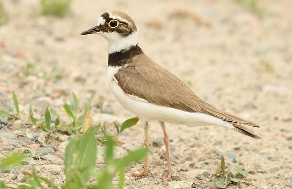 Кулик-птица-Образ-жизни-и-среда-обитания-кулика-15