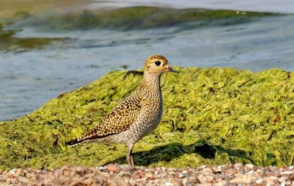 Кулик-птица-Образ-жизни-и-среда-обитания-кулика-18