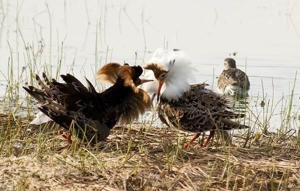 Кулик-птица-Образ-жизни-и-среда-обитания-кулика-21
