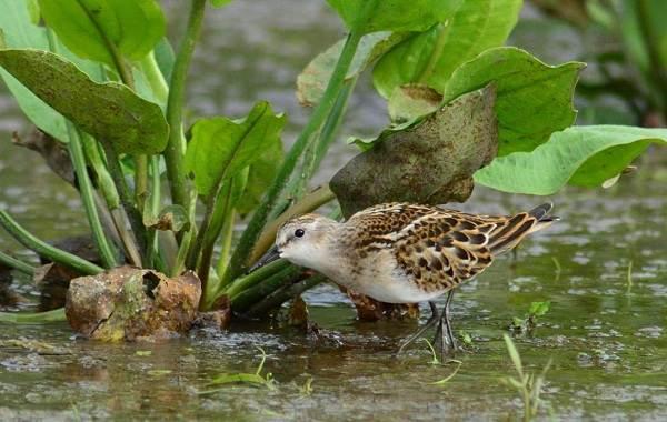 Кулик-птица-Образ-жизни-и-среда-обитания-кулика-24