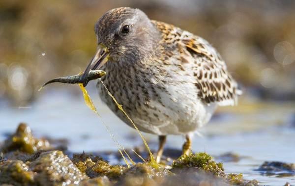 Кулик-птица-Образ-жизни-и-среда-обитания-кулика-27