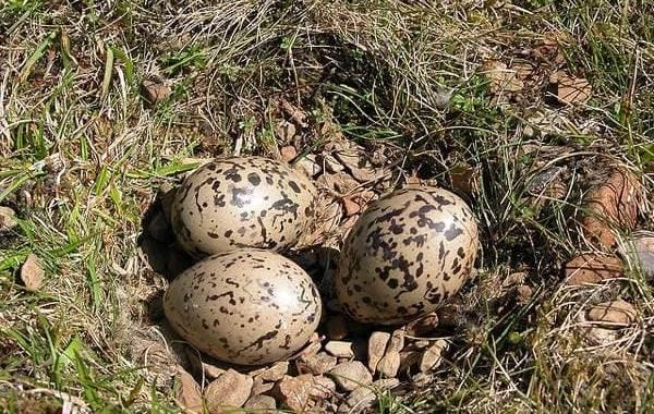 Кулик-птица-Образ-жизни-и-среда-обитания-кулика-29