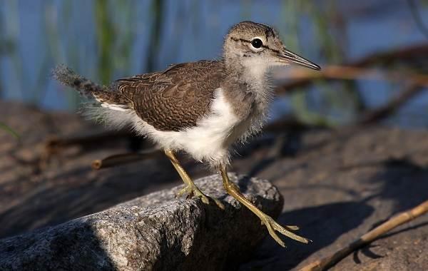 Кулик-птица-Образ-жизни-и-среда-обитания-кулика-31