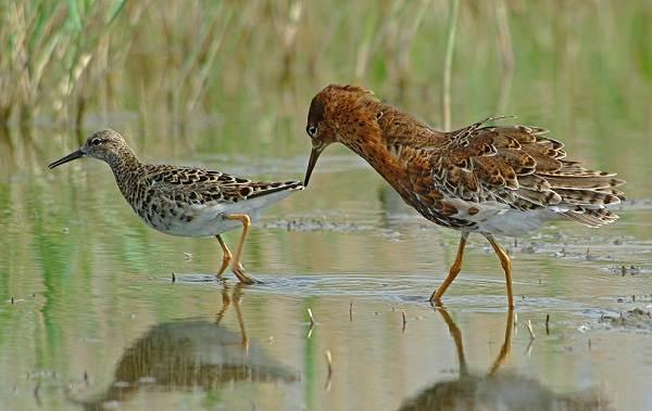 Кулик-птица-Образ-жизни-и-среда-обитания-кулика-4