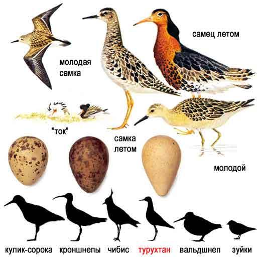 Кулик-птица-Образ-жизни-и-среда-обитания-кулика-5