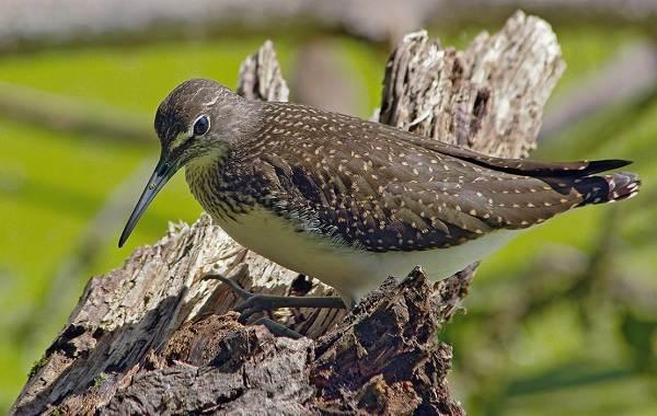 Кулик-птица-Образ-жизни-и-среда-обитания-кулика-6