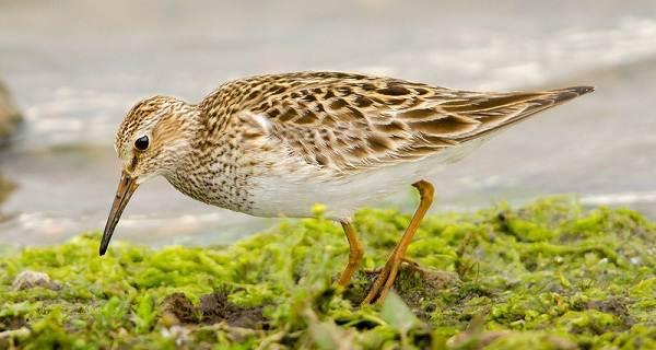 Кулик-птица-Образ-жизни-и-среда-обитания-кулика
