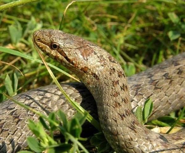 Медянка-змея-Образ-жизни-и-среда-обитания-медянки-2