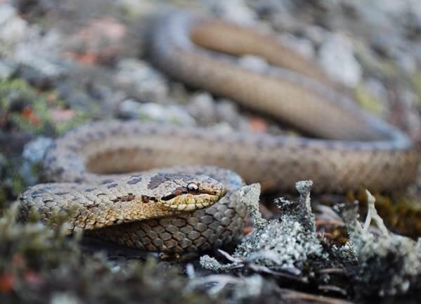 Медянка-змея-Образ-жизни-и-среда-обитания-медянки-5