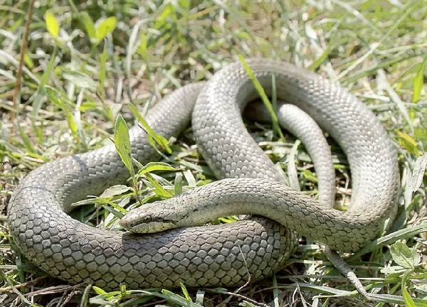 Медянка-змея-Образ-жизни-и-среда-обитания-медянки-6