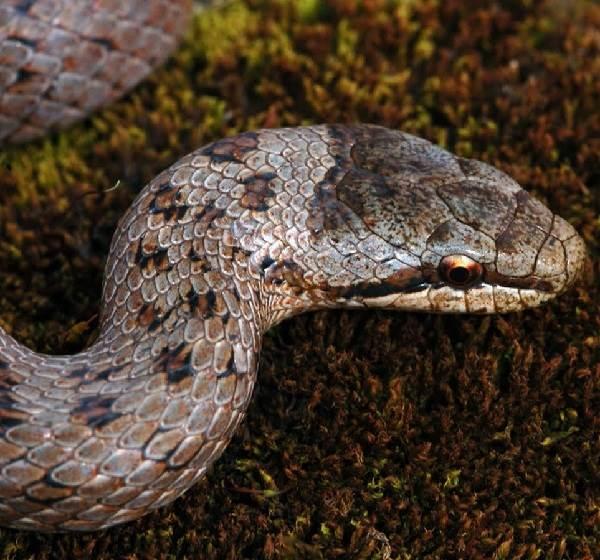Медянка-змея-Образ-жизни-и-среда-обитания-медянки-7