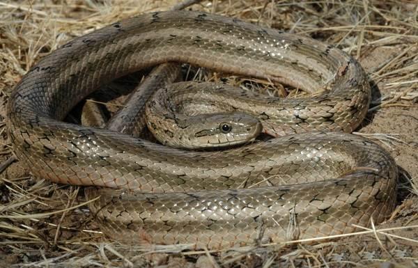 Медянка-змея-Образ-жизни-и-среда-обитания-медянки-8