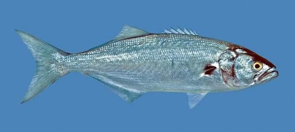 Рыбы-черного-моря-Названия-описания-и-особенности-рыб-черного-моря-12