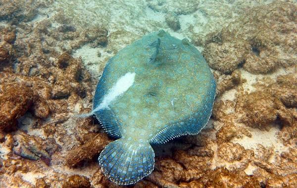 Рыбы-черного-моря-Названия-описания-и-особенности-рыб-черного-моря-15