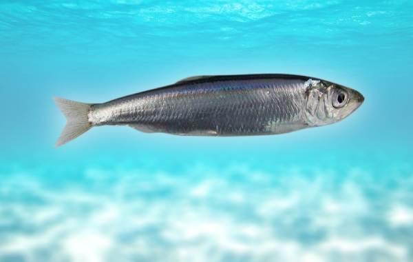 Рыбы-черного-моря-Названия-описания-и-особенности-рыб-черного-моря-17