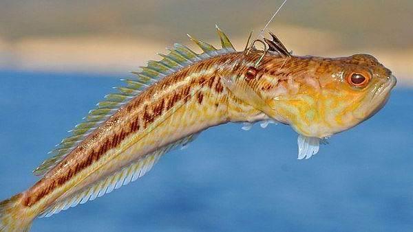 Рыбы-черного-моря-Названия-описания-и-особенности-рыб-черного-моря-22